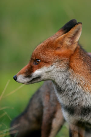 British Red Fox sitting in the grass