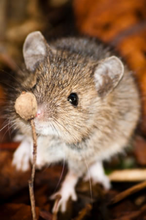 Wood Mouse sniffing a seed pod